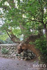 月讀宮(巨木)