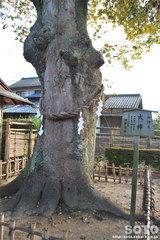 竹駒神社(ご神木)