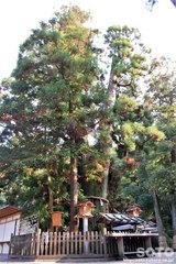 大神神社(巳の神杉)