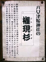 八女津媛神社 権現杉