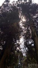 草部吉見神社(三本の杉の巨木)