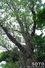 神威神社 巨木