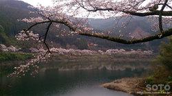 日向神ダムの桜