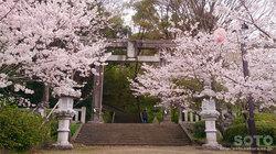 菊池神社鳥居と桜