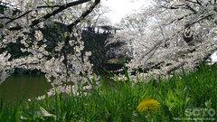 弘前公園の桜(1)
