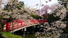 弘前公園の桜(2)