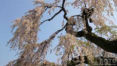 弘前公園の桜(4)