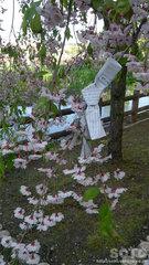 枝垂桜におみくじ