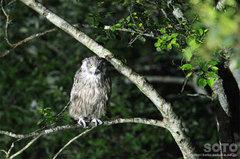 鷲の宿シマフクロウ(1)