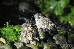 鷲の宿シマフクロウ(3)