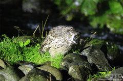 鷲の宿シマフクロウ(5)