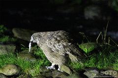 鷲の宿シマフクロウ(6)