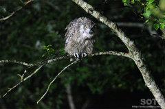 鷲の宿シマフクロウ(2)