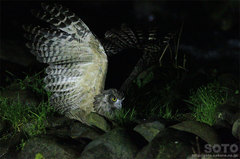 鷲の宿シマフクロウ(8)