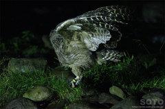 鷲の宿シマフクロウ(9)