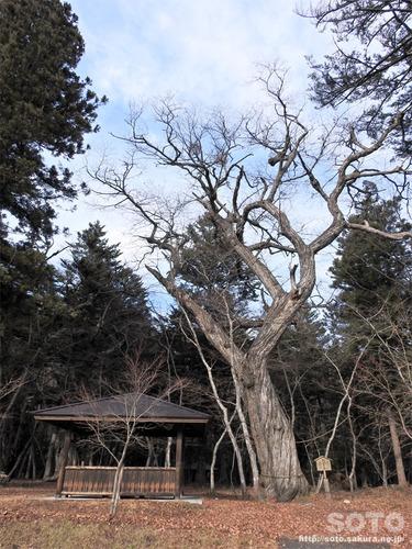 平清盛公の木
