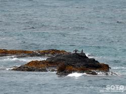 スコトン岬(4)