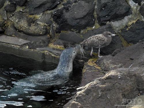 仙法志御崎のアザラシとカモメ
