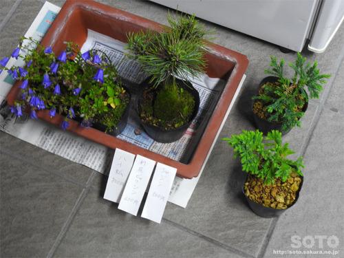 高山植物販売