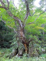材木岩公園(巨木)