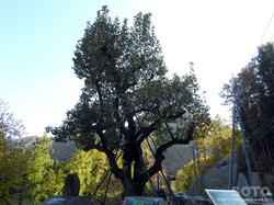湯西川(梨の木)