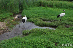 釧路市丹頂鶴自然公園(3)