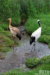 釧路市丹頂鶴自然公園(8)