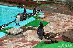 釧路市動物園(ペンギン)