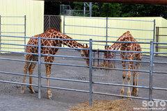 釧路市動物園(キリン)