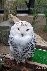 釧路市動物園(シロフクロウ)