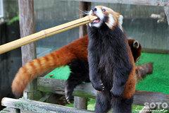 釧路市動物園(レッサーパンダ)