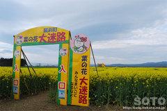 横浜町の菜の花(迷路入口)