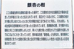 熊本城(銀杏・説明板)