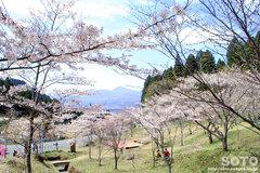 高森千本桜(2)