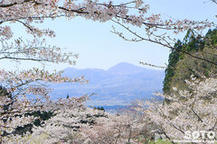 高森千本桜(3)