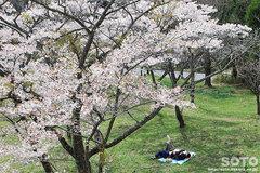 高森千本桜(1)