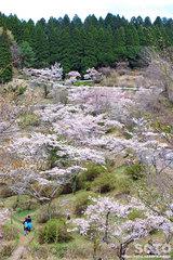 高森千本桜(4)