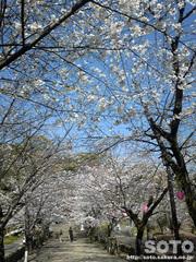 菊池の桜(2013-1)