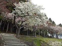 薬師山芝桜(3)