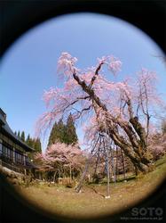 貞鱗寺(枝垂桜/魚眼)