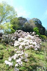円通寺(しゃくなげ園)