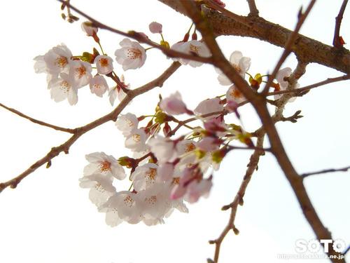 菊池市民広場(桜)
