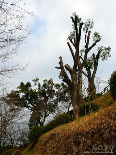 菊池公園の巨木