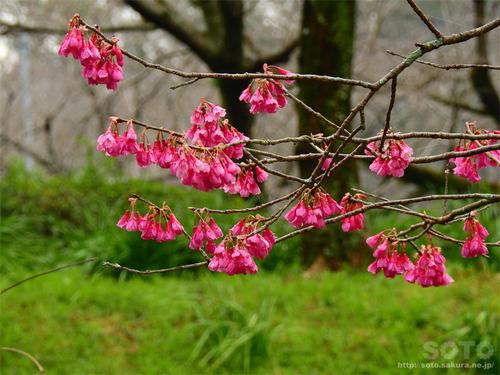 菊池公園(緋寒桜)