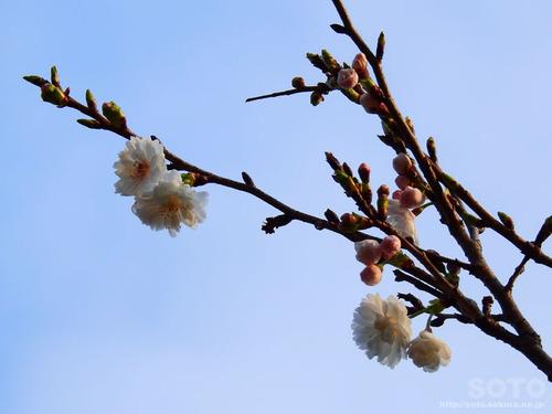 城山公園(桜)