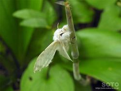 ポン山(白い蛾)