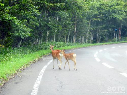 硫黄山(エゾシカ道路横断)