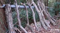 椎茸コマ打ちしたばかりの原木