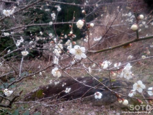 山小屋の梅花