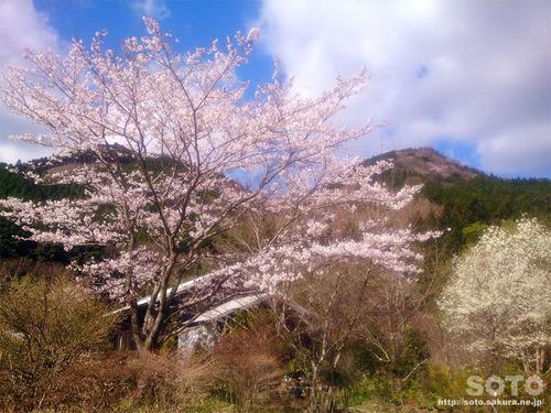 山小屋の桜2019